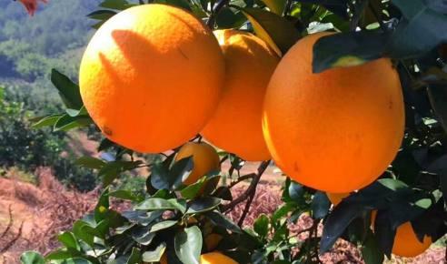 【抢购】崀山脐橙 开园钜惠 原价68元 团购59元  果园直发  ( 10斤包邮)