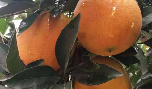 【抢购】崀山脐橙 开园钜惠 原价128元 团购118元  果园直发  ( 20斤包邮)